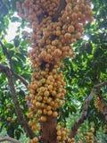 Ramiflora de Baccaurea Fotografía de archivo