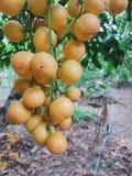 Ramiflora de Baccaurea Fotos de archivo libres de regalías