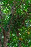 Ramiflora verde di Baccaurea Immagini Stock Libere da Diritti