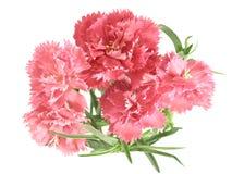 Ramillete de la flor de claveles Fotos de archivo