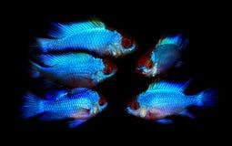 Ramirezi de Mikrogeophagus Imagen de archivo libre de regalías