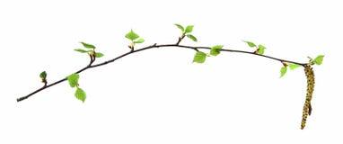 Ramita con amentos florecientes, rama floreciente del abedul de amentos Imagen de archivo