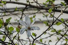 Ramita con la floración y las hojas blancas del árbol de la magnolia en la primavera en el jardín, Sofía Foto de archivo libre de regalías