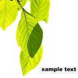 Ramita con las hojas Fotografía de archivo