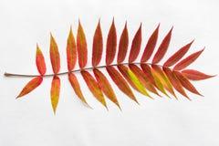 Ramita con las hojas del rojo del otoño de la pendiente Foto de archivo libre de regalías