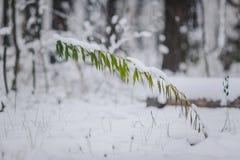 Ramita con las hojas en el bosque del invierno Fotos de archivo libres de regalías