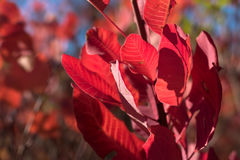 Ramita con las hojas rojas imágenes de archivo libres de regalías