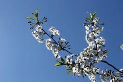 Ramita de la cereza Imagen de archivo libre de regalías