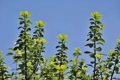 Ramita de la hiedra y cielo azul Fotos de archivo