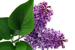 Ramita de la lila en el fondo blanco Fotos de archivo