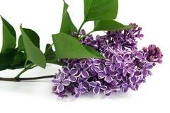 Ramita de la lila en el fondo blanco Foto de archivo libre de regalías