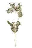 Ramita de la menta seca Imagen de archivo libre de regalías