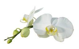 Ramita de la orquídea aislada Fotos de archivo libres de regalías