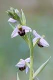 Ramita de la orquídea de abeja Fotografía de archivo libre de regalías