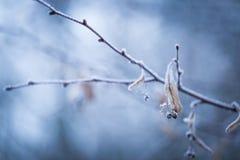 Ramita del árbol de cal con escarcha Fotos de archivo libres de regalías