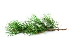 Ramita del árbol de pino Fotografía de archivo libre de regalías