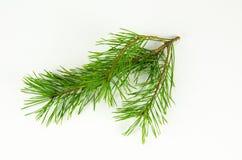 Ramita del árbol de pino en el blanco Fotografía de archivo