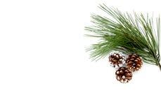 Ramita del árbol de pino y de los conos del pino Imagenes de archivo