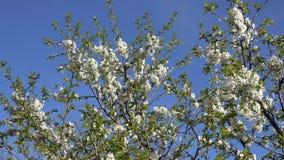 Ramita del árbol frutal con las floraciones blancas en primavera 4K almacen de video