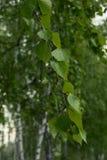 Ramita del abedul con las hojas talladas y hermosas Imagenes de archivo