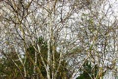 Ramita del abedul en la primavera temprana, manipulación de la foto Foto de archivo libre de regalías