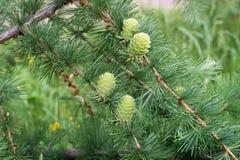 Ramita del alerce de la primavera con los conos macros Fotos de archivo