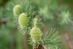 Ramita del alerce de la primavera con los conos macros Imagenes de archivo