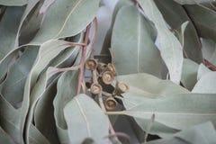 Ramita del eucalipto Fotos de archivo