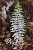 Ramita del otoño del helecho de madera imágenes de archivo libres de regalías