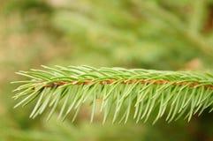 Ramita del pino Imágenes de archivo libres de regalías