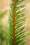 Ramita del pino Imagen de archivo libre de regalías