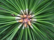 Ramita del pino Foto de archivo libre de regalías