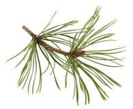 Ramita del pino blanco con un brote de flor Imagen de archivo libre de regalías