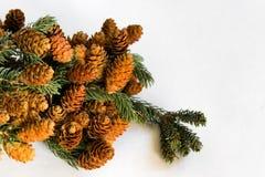 Ramita del pino con los conos en el lado izquierdo de la imagen Imagenes de archivo