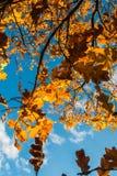 Ramita del roble del otoño en fondo del cielo azul Imagen de archivo
