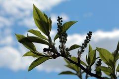 Ramita delicada del árbol de la primavera en el bosque Fotos de archivo