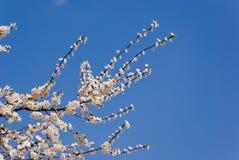 Ramita floreciente Imágenes de archivo libres de regalías