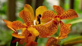 Ramita floreciente de la orquídea del tigre metrajes