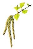 Ramita floreciente del abedul Imagen de archivo