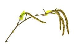 Ramita floreciente del abedul Imagen de archivo libre de regalías