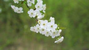 Ramita maravillosa de la cereza con las flores coloridas en un fondo verde 4K