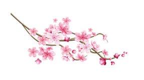 Ramita realista del árbol de Sakura del vector con el pétalo rosado imagen de archivo