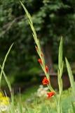Ramita roja del gladiolo imágenes de archivo libres de regalías
