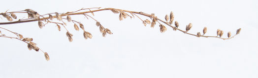 Ramita seca con las flores Fotos de archivo libres de regalías