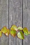 Ramita verde de la hiedra en los tableros de madera Fotos de archivo libres de regalías