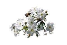 Ramita y abeja de la cereza Fotografía de archivo