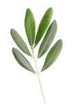 Ramita y hojas verdes olivas Imágenes de archivo libres de regalías