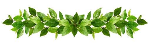Ramitas con las hojas verdes frescas en una guirnalda foto de archivo