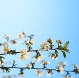 Ramitas de la cereza en la floración Imagenes de archivo
