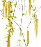 Ramitas de la primavera del abedul con las hojas y los amentos de los jóvenes Fotografía de archivo